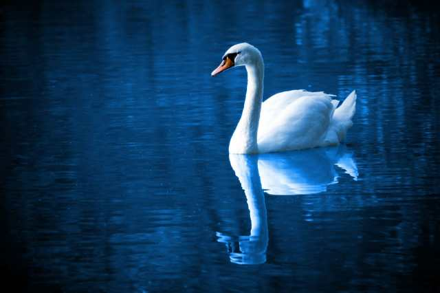 swan-on-a-lake